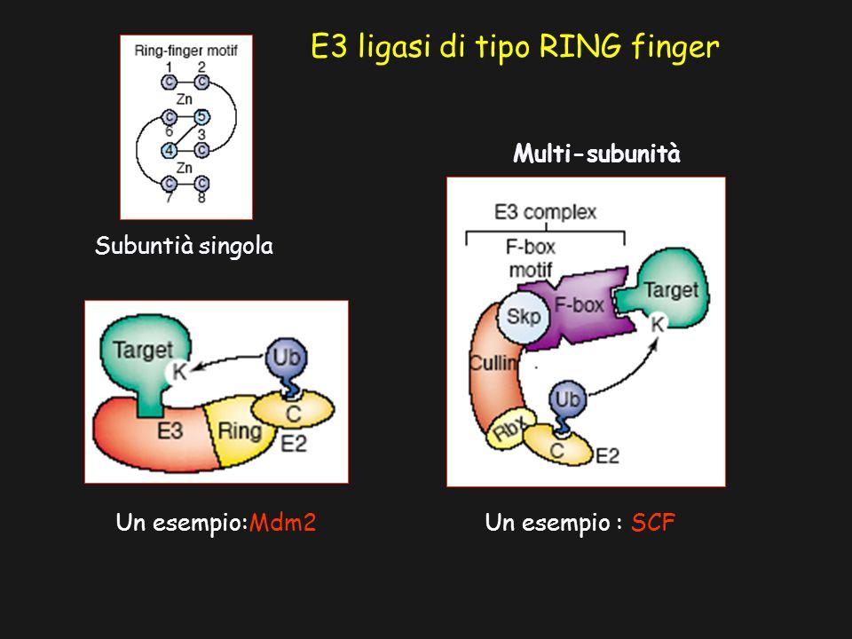 E3 ligasi di tipo RING finger Subuntià singola Un esempio:Mdm2 Multi-subunità Un esempio : SCF