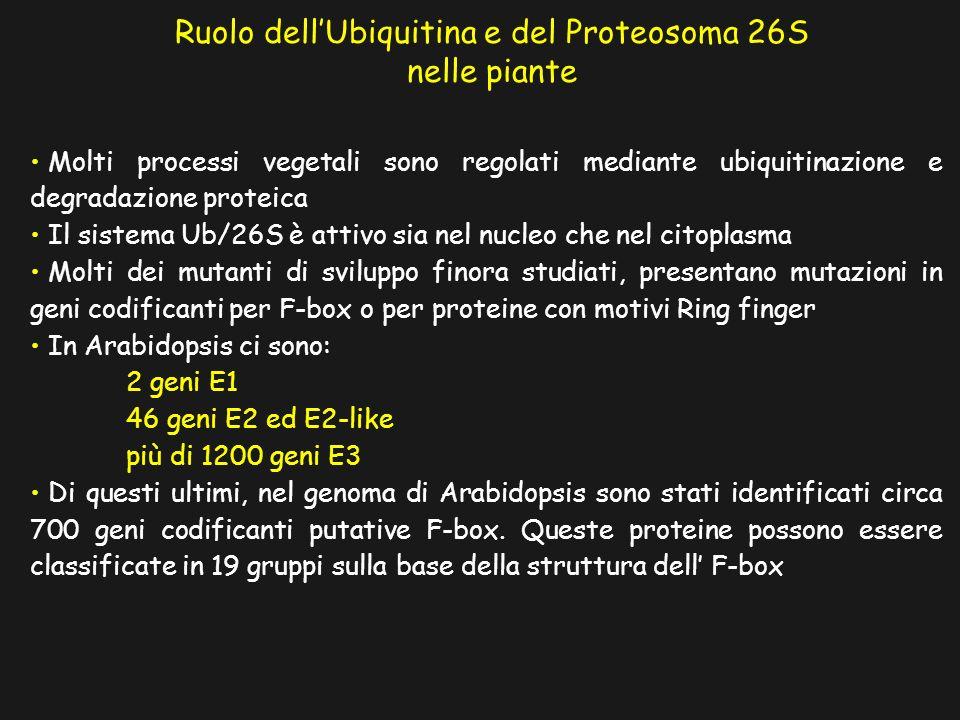 Molti processi vegetali sono regolati mediante ubiquitinazione e degradazione proteica Il sistema Ub/26S è attivo sia nel nucleo che nel citoplasma Molti dei mutanti di sviluppo finora studiati, presentano mutazioni in geni codificanti per F-box o per proteine con motivi Ring finger In Arabidopsis ci sono: 2 geni E1 46 geni E2 ed E2-like più di 1200 geni E3 Di questi ultimi, nel genoma di Arabidopsis sono stati identificati circa 700 geni codificanti putative F-box.