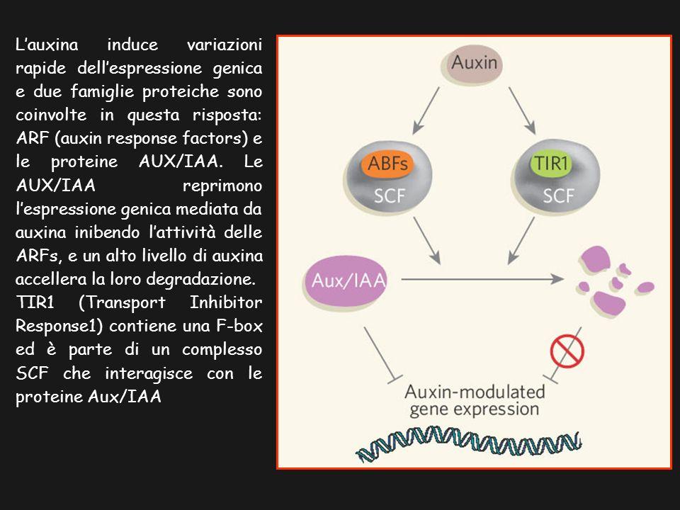 Lauxina induce variazioni rapide dellespressione genica e due famiglie proteiche sono coinvolte in questa risposta: ARF (auxin response factors) e le proteine AUX/IAA.