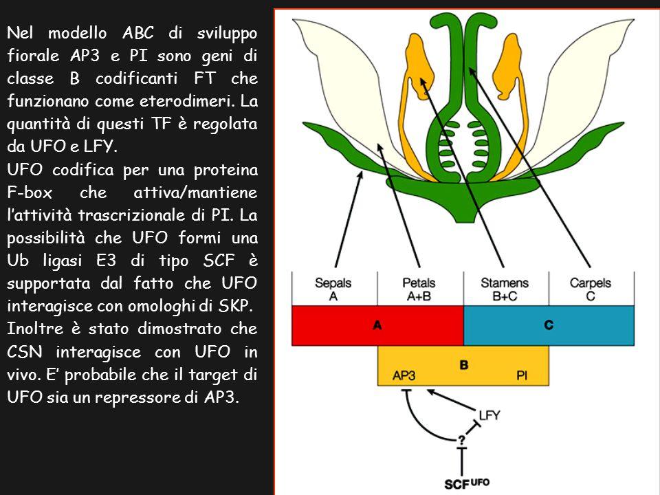 Nel modello ABC di sviluppo fiorale AP3 e PI sono geni di classe B codificanti FT che funzionano come eterodimeri.