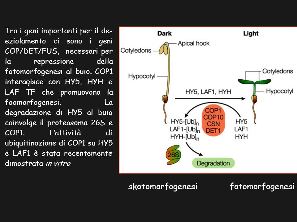 skotomorfogenesifotomorfogenesi Tra i geni importanti per il de- eziolamento ci sono i geni COP/DET/FUS, necessari per la repressione della fotomorfogenesi al buio.