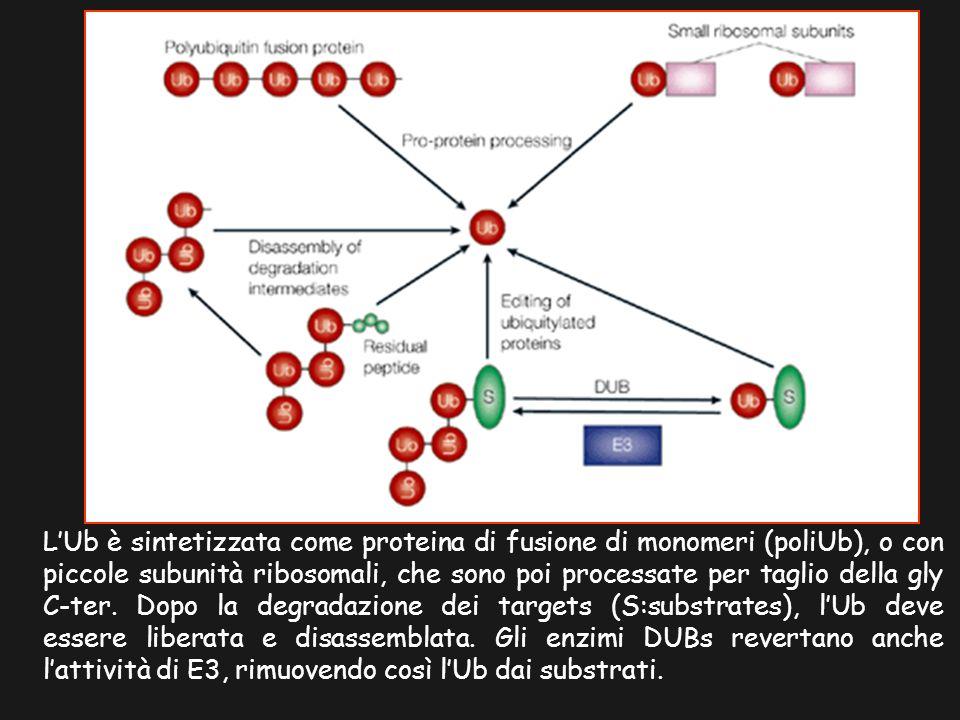 LUb è sintetizzata come proteina di fusione di monomeri (poliUb), o con piccole subunità ribosomali, che sono poi processate per taglio della gly C-ter.