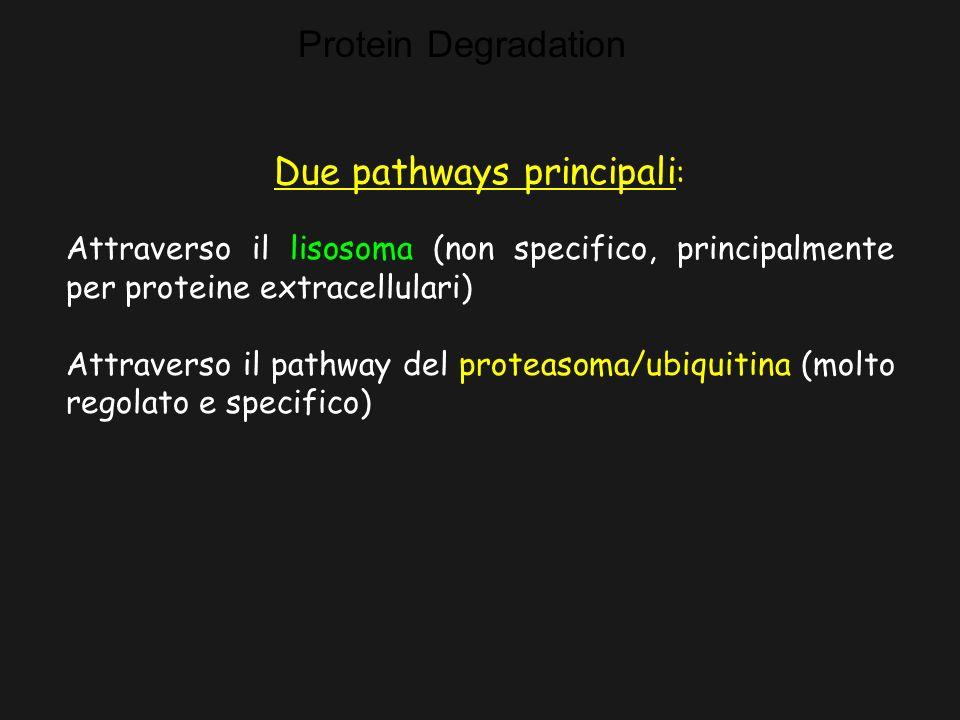Protein Degradation Due pathways principali : Attraverso il lisosoma (non specifico, principalmente per proteine extracellulari) Attraverso il pathway del proteasoma/ubiquitina (molto regolato e specifico)