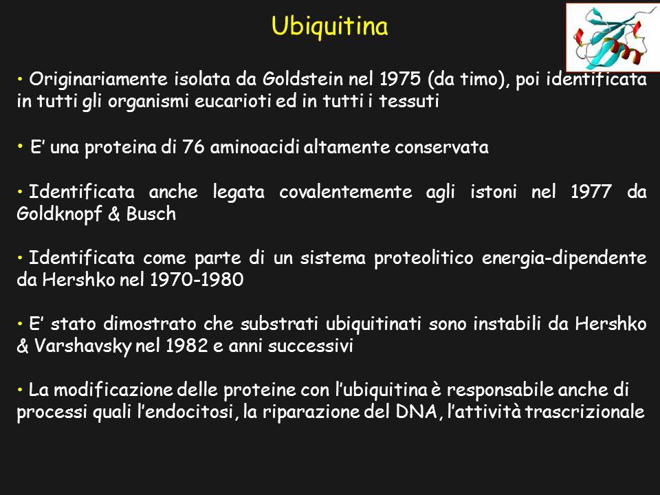 Ubiquitina Originariamente isolata da Goldstein nel 1975 (da timo), poi identificata in tutti gli organismi eucarioti ed in tutti i tessuti E una proteina di 76 aminoacidi altamente conservata Identificata anche legata covalentemente agli istoni nel 1977 da Goldknopf & Busch Identificata come parte di un sistema proteolitico energia-dipendente da Hershko nel 1970-1980 E stato dimostrato che substrati ubiquitinati sono instabili da Hershko & Varshavsky nel 1982 e anni successivi La modificazione delle proteine con lubiquitina è responsabile anche di processi quali lendocitosi, la riparazione del DNA, lattività trascrizionale