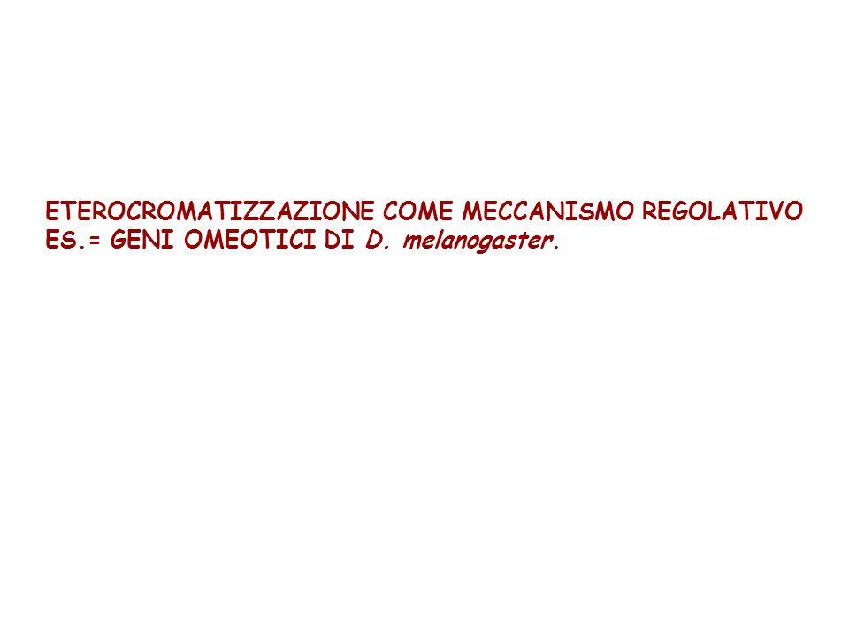 ETEROCROMATIZZAZIONE COME MECCANISMO REGOLATIVO ES.= GENI OMEOTICI DI D. melanogaster.