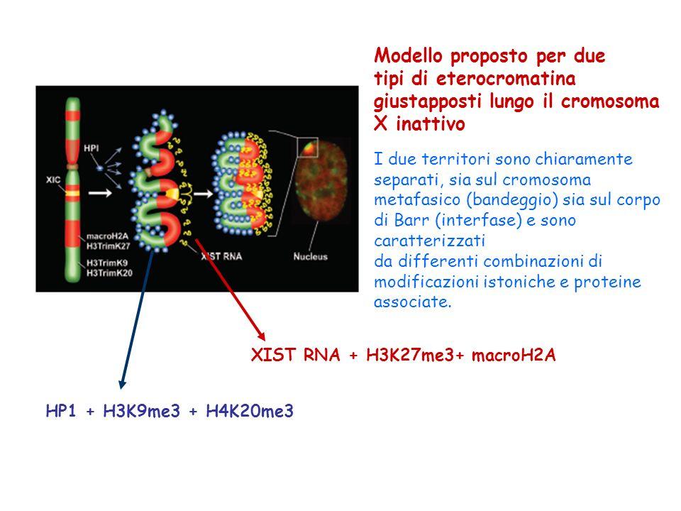 Modello proposto per due tipi di eterocromatina giustapposti lungo il cromosoma X inattivo I due territori sono chiaramente separati, sia sul cromosom