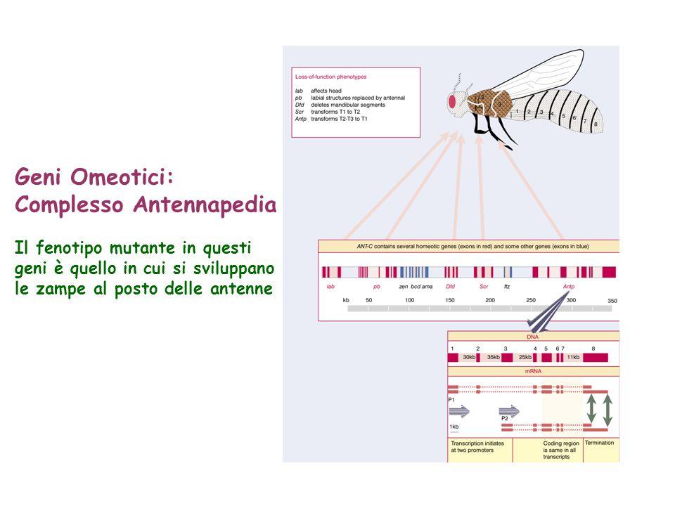 Geni Omeotici: Complesso Antennapedia Il fenotipo mutante in questi geni è quello in cui si sviluppano le zampe al posto delle antenne