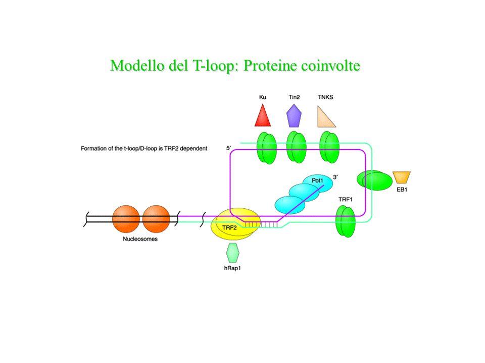 Modello del T-loop: Proteine coinvolte