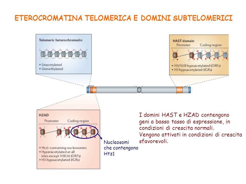 ETEROCROMATINA TELOMERICA E DOMINI SUBTELOMERICI Nucleosomi che contengono Htz1 I domini HAST e HZAD contengono geni a basso tasso di espressione, in