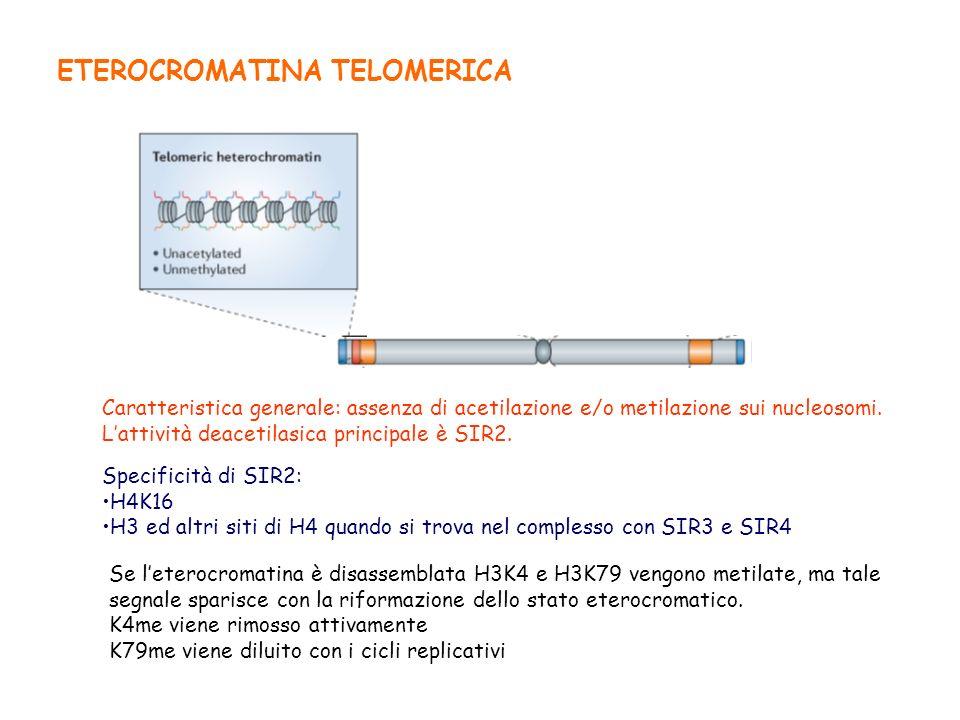 ETEROCROMATINA TELOMERICA Caratteristica generale: assenza di acetilazione e/o metilazione sui nucleosomi. Lattività deacetilasica principale è SIR2.