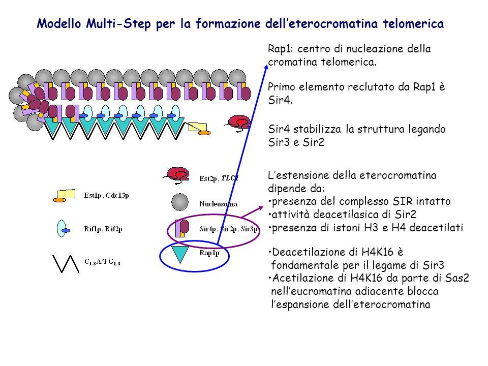 Rap1: centro di nucleazione della cromatina telomerica. Primo elemento reclutato da Rap1 è Sir4. Sir4 stabilizza la struttura legando Sir3 e Sir2 Lest