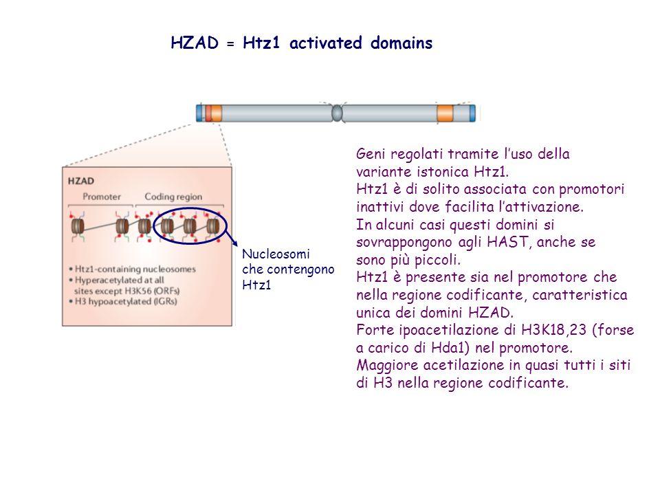 Nucleosomi che contengono Htz1 Geni regolati tramite luso della variante istonica Htz1. Htz1 è di solito associata con promotori inattivi dove facilit