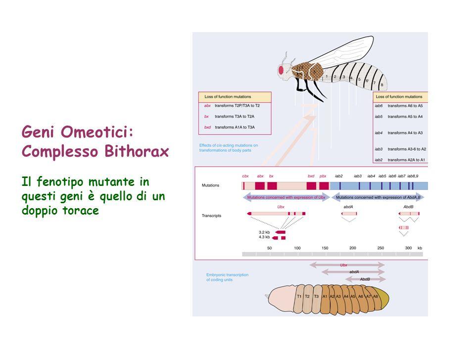 Geni Omeotici: Complesso Bithorax Il fenotipo mutante in questi geni è quello di un doppio torace