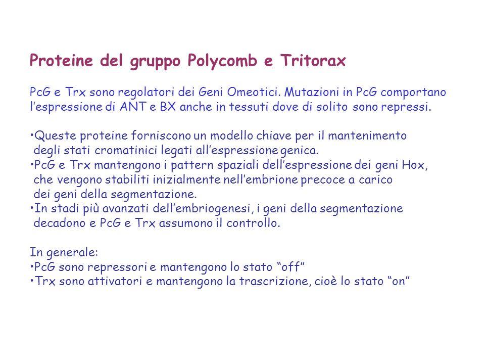 Proteine del gruppo Polycomb e Tritorax PcG e Trx sono regolatori dei Geni Omeotici. Mutazioni in PcG comportano lespressione di ANT e BX anche in tes