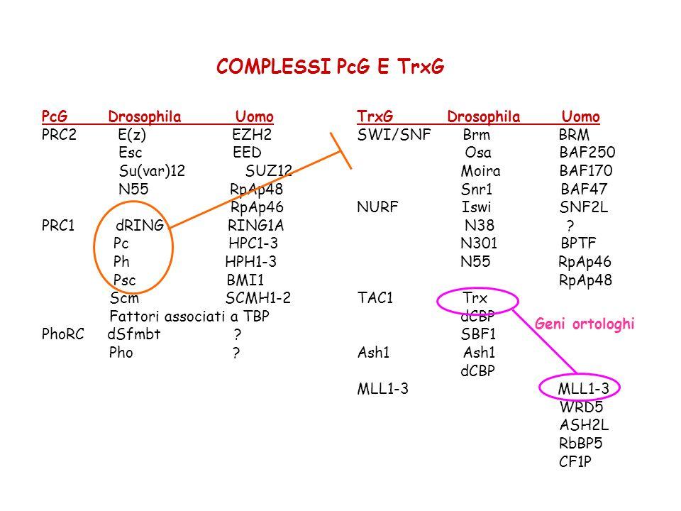 COMPLESSI PcG E TrxG PcG Drosophila Uomo PRC2 E(z) EZH2 Esc EED Su(var)12 SUZ12 N55 RpAp48 RpAp46 PRC1 dRING RING1A Pc HPC1-3 Ph HPH1-3 Psc BMI1 Scm S