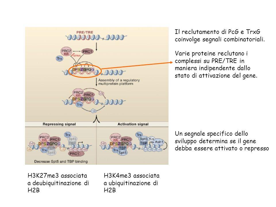 Il reclutamento di PcG e TrxG coinvolge segnali combinatoriali. Varie proteine reclutano i complessi su PRE/TRE in maniera indipendente dallo stato di