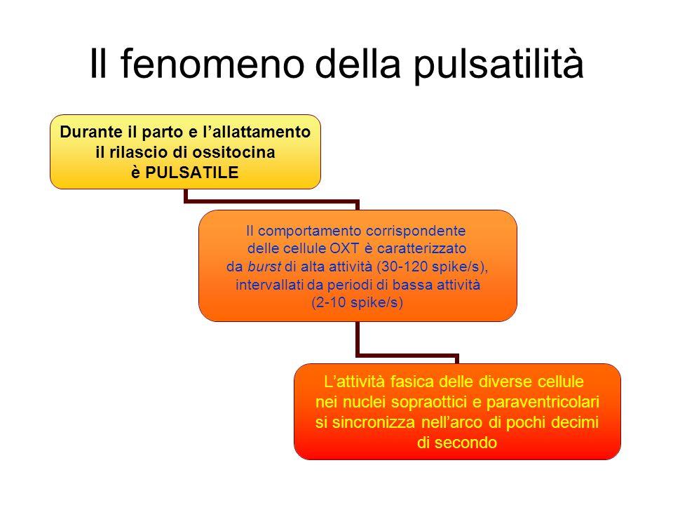 Il fenomeno della pulsatilità Durante il parto e lallattamento il rilascio di ossitocina è PULSATILE Il comportamento corrispondente delle cellule OXT