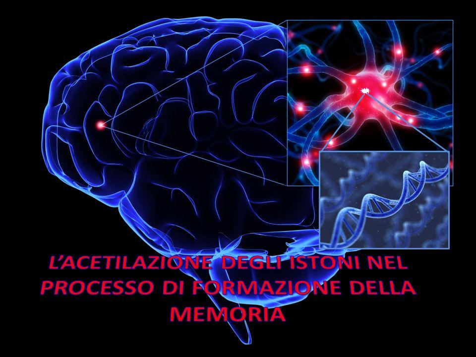 Il priming epigenetico, la capacità degli inibitori delle HDAC o di altri farmaci di preparare o sensibilizzare le cellule neuronali a trattamenti farmacologici, è applicabile anche alla memoria.