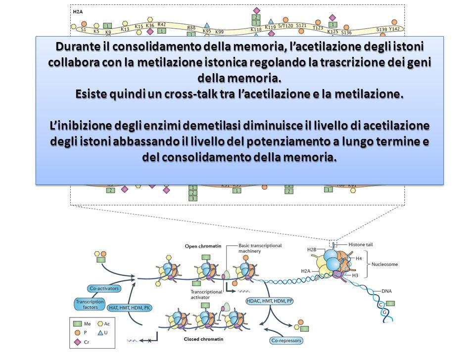 Durante il consolidamento della memoria, lacetilazione degli istoni collabora con la metilazione istonica regolando la trascrizione dei geni della mem
