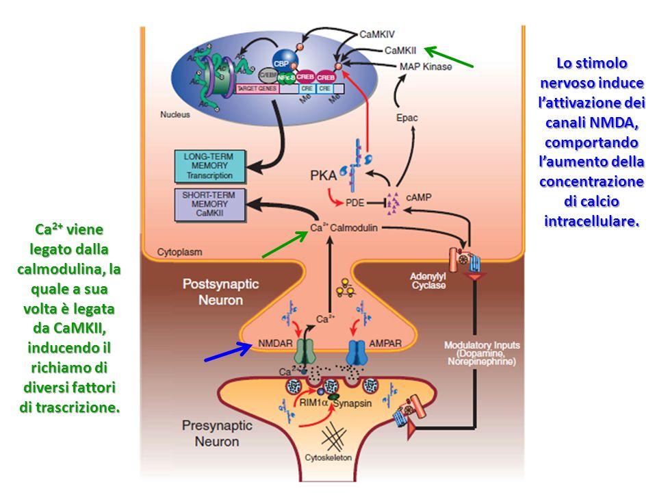 Lo stimolo nervoso induce lattivazione dei canali NMDA, comportando laumento della concentrazione di calcio intracellulare. Ca 2+ viene legato dalla c