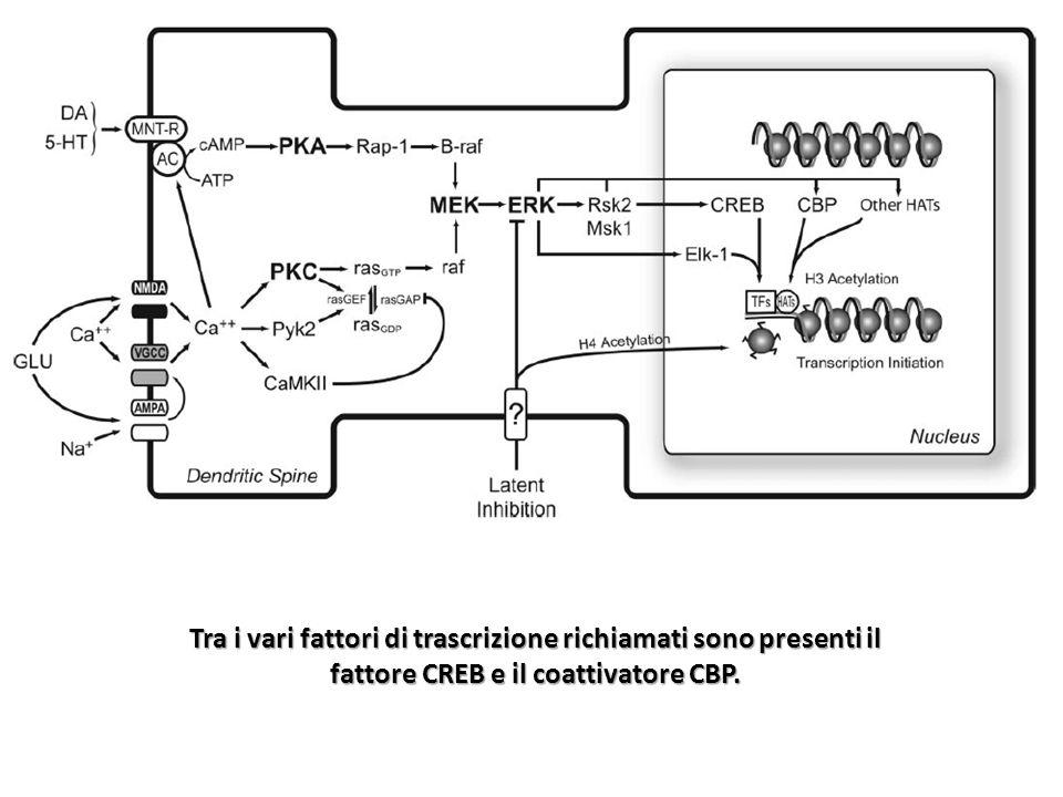 Il co-attivatore CBP possiede attività acetil- transferasica, che permette lacetilazione dei residui di lisina sulle code N-terminali dellistone H3 promuovendo lattivazione della trascrizione.