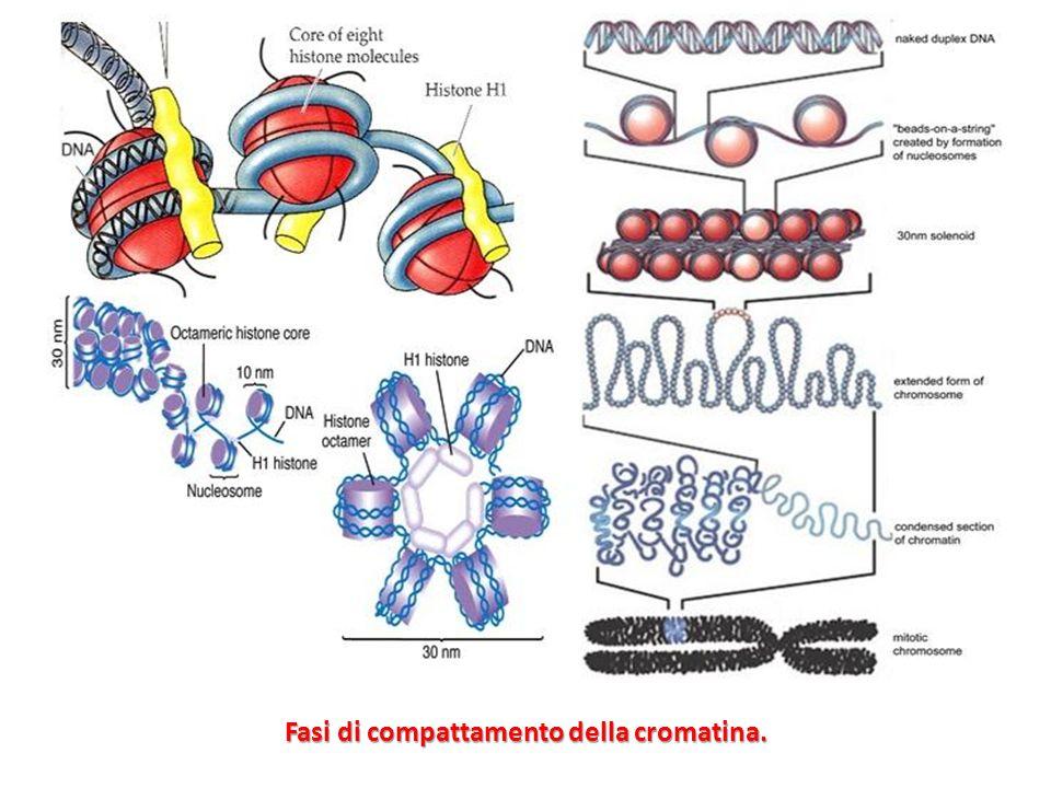 Fasi di compattamento della cromatina.