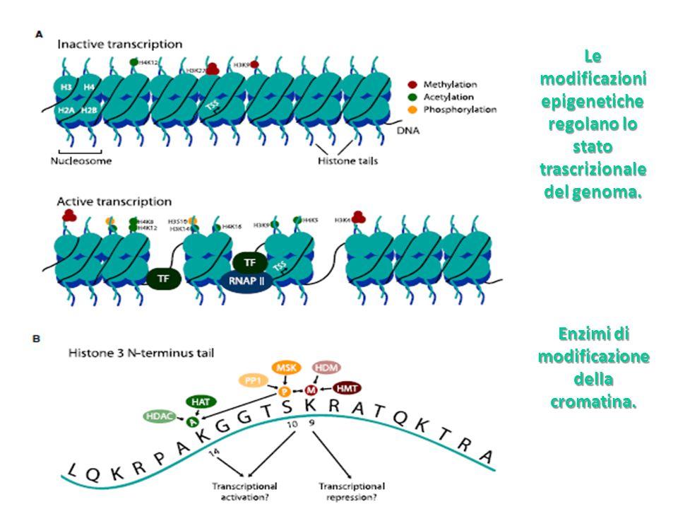 Le modificazioni epigenetiche regolano lo stato trascrizionale del genoma. Enzimi di modificazione della cromatina.