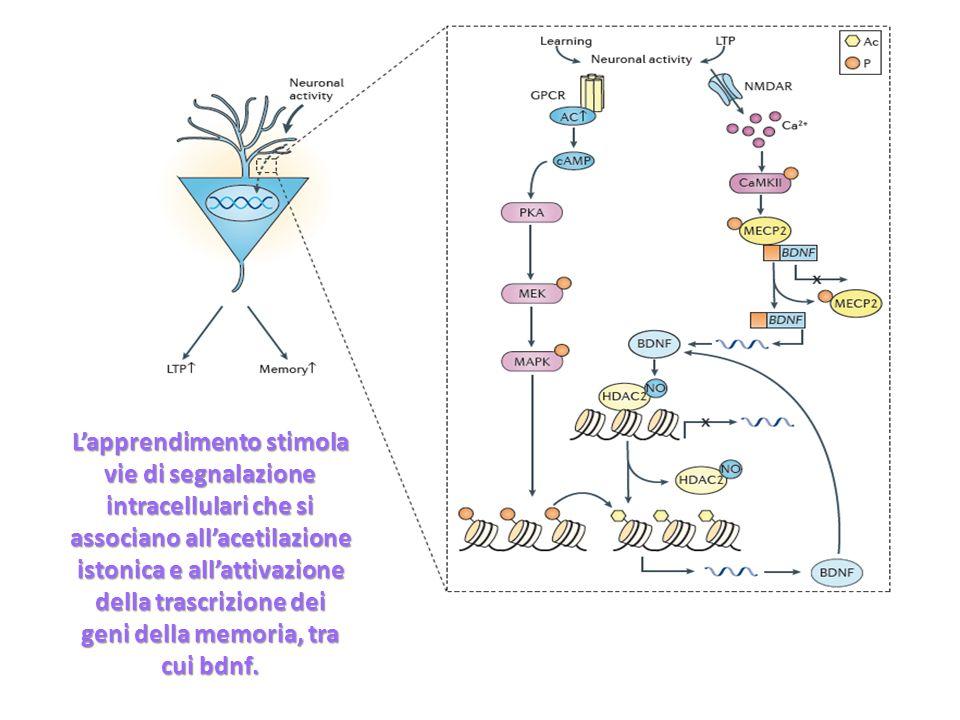 Lapprendimento stimola vie di segnalazione intracellulari che si associano allacetilazione istonica e allattivazione della trascrizione dei geni della