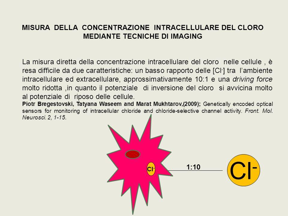 MISURA DELLA CONCENTRAZIONE INTRACELLULARE DEL CLORO MEDIANTE TECNICHE DI IMAGING La misura diretta della concentrazione intracellulare del cloro nell