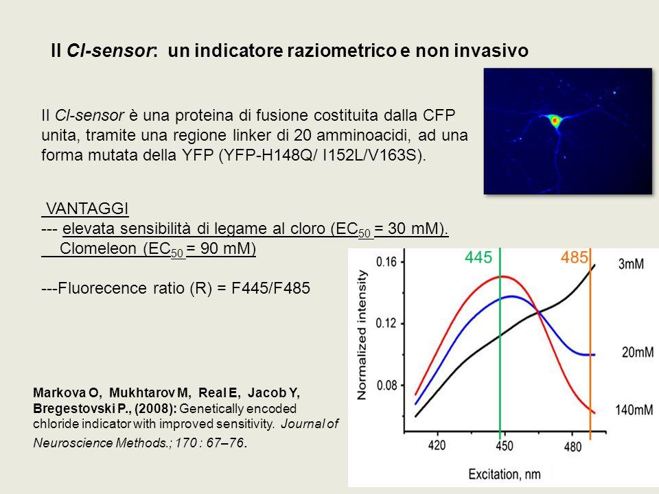 Il Cl-sensor: un indicatore raziometrico e non invasivo VANTAGGI --- elevata sensibilità di legame al cloro (EC 50 = 30 mM). Clomeleon (EC 50 = 90 mM)