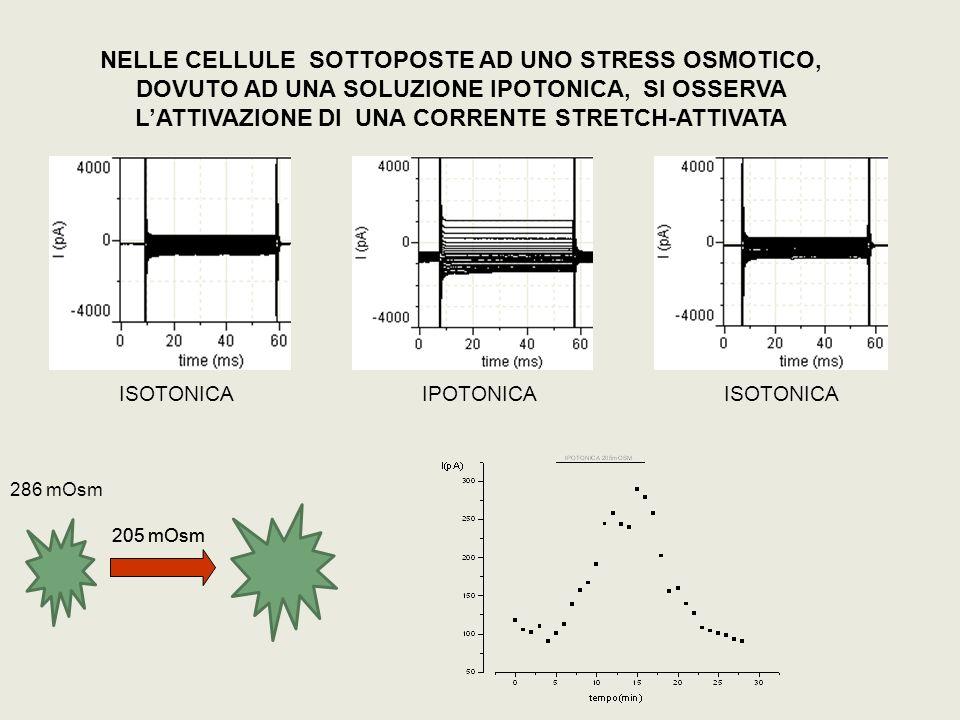 NELLE CELLULE SOTTOPOSTE AD UNO STRESS OSMOTICO, DOVUTO AD UNA SOLUZIONE IPOTONICA, SI OSSERVA LATTIVAZIONE DI UNA CORRENTE STRETCH-ATTIVATA ISOTONICA