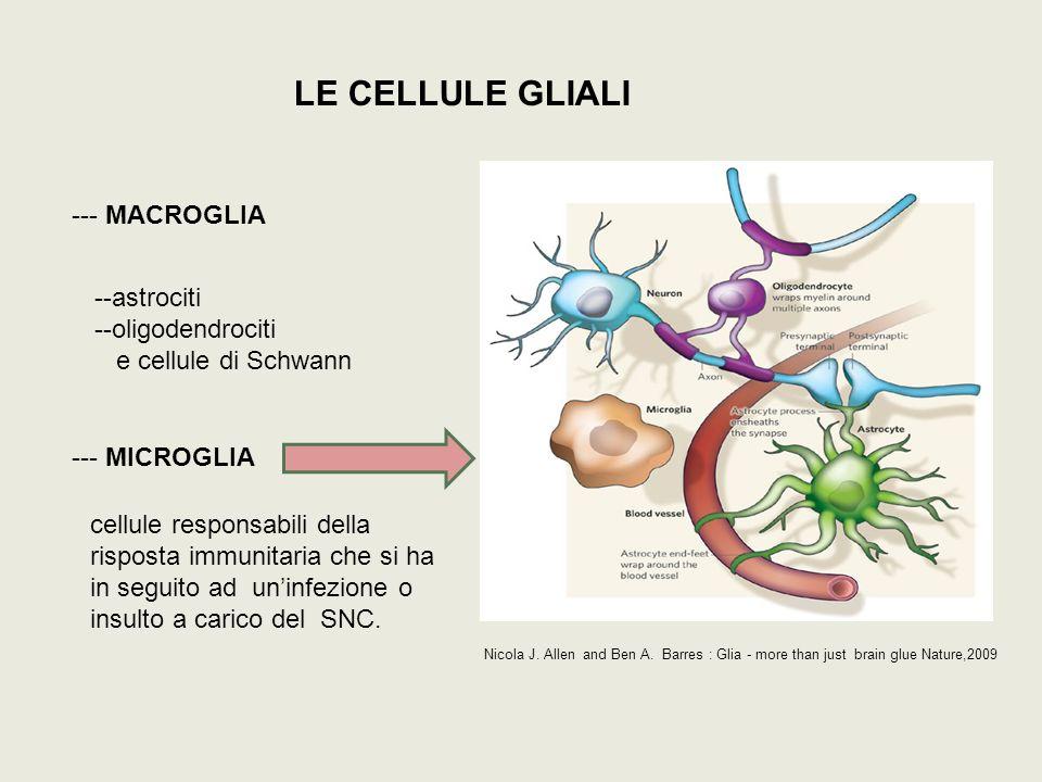 FUNZIONI DELLE CELLULE MICROGLIALI Le cellule microgliali sono dei guardiani attivi e dinamici del parenchima cerebrale --- movimento tramite il riarrangiamento dei processi citoplasmatici --- stato di resting (forma ramificata) e stato attivato (forma ameboide) --- produzione e rilascio di citochine, chemochine, mediatori del processo infiammatorio