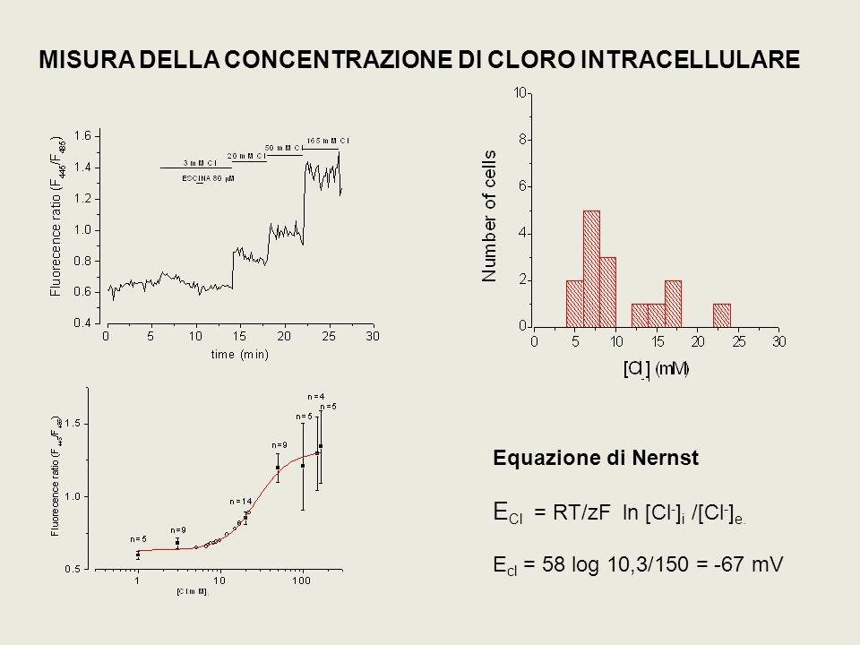 MISURA DELLA CONCENTRAZIONE DI CLORO INTRACELLULARE Equazione di Nernst E Cl = RT/zF ln [Cl - ] i /[Cl - ] e. E cl = 58 log 10,3/150 = -67 mV