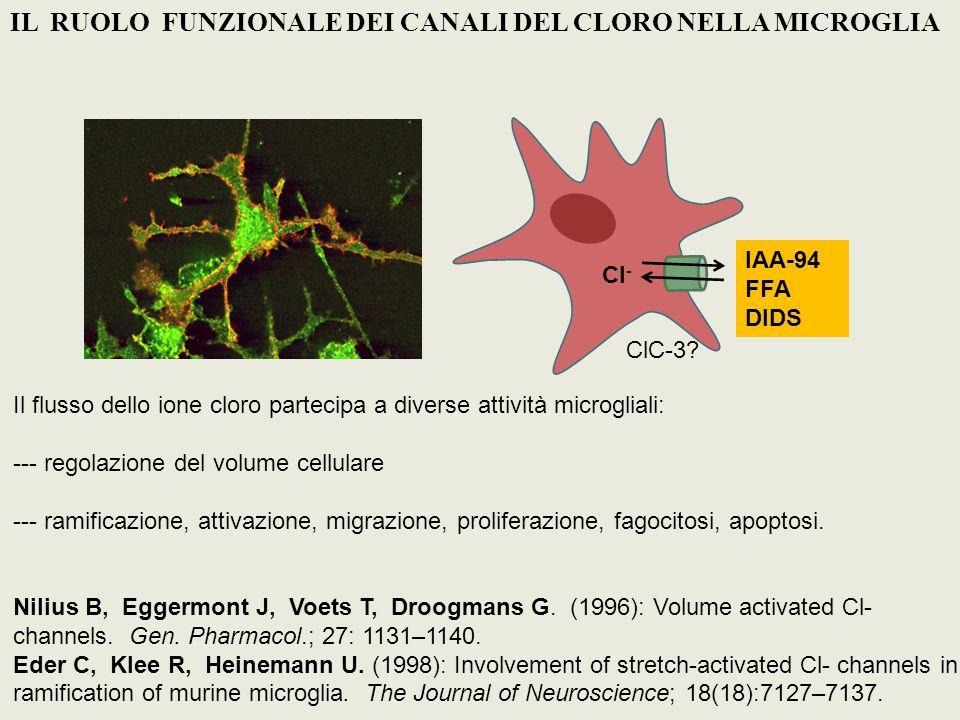 CONCLUSIONI Cl - Stiramento 1) Le cellule BV-2 presentano una corrente attivata da stimoli ipotonici tipica della microglia: trasportata da ioni Cl - inibita dallacido flufenamico, un bloccante dei canali anionici 2) In cellule che esprimono il sensore del Cl -, si osservano direttamente i flussi di Cl -.associati allattivazione della corrente Cl - Cl-sensor Distribuzione locale e dinamica del cloro