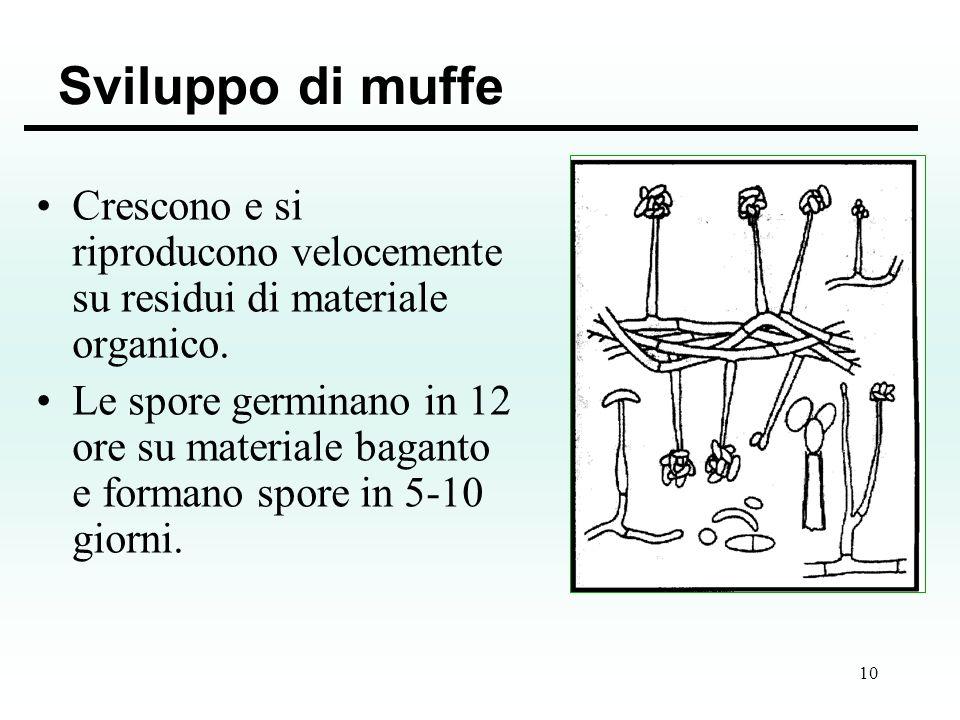 10 Sviluppo di muffe Crescono e si riproducono velocemente su residui di materiale organico. Le spore germinano in 12 ore su materiale baganto e forma
