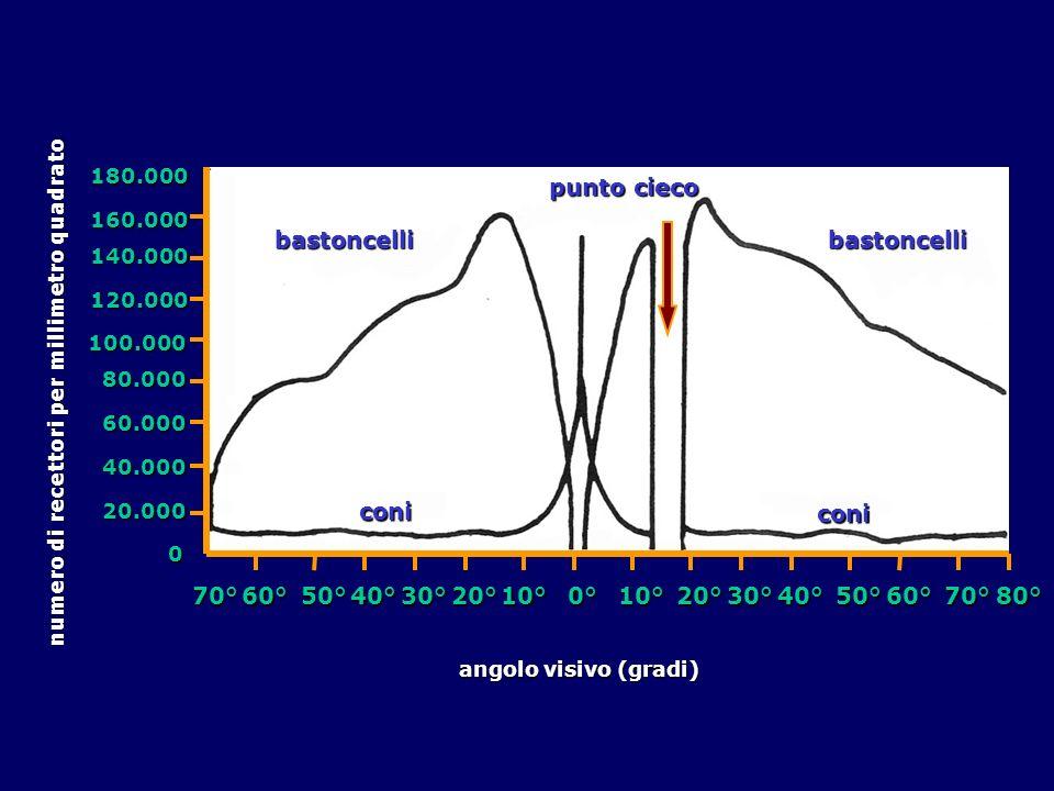 coni coni 70°60°50°40°30°20°10°0°10°20°30°40°50°60°70°80° 20.000 40.000 60.000 80.000 100.000 120.000 140.000 160.000 180.000 numero di recettori per millimetro quadrato angolo visivo (gradi) bastoncellibastoncelli punto cieco 0