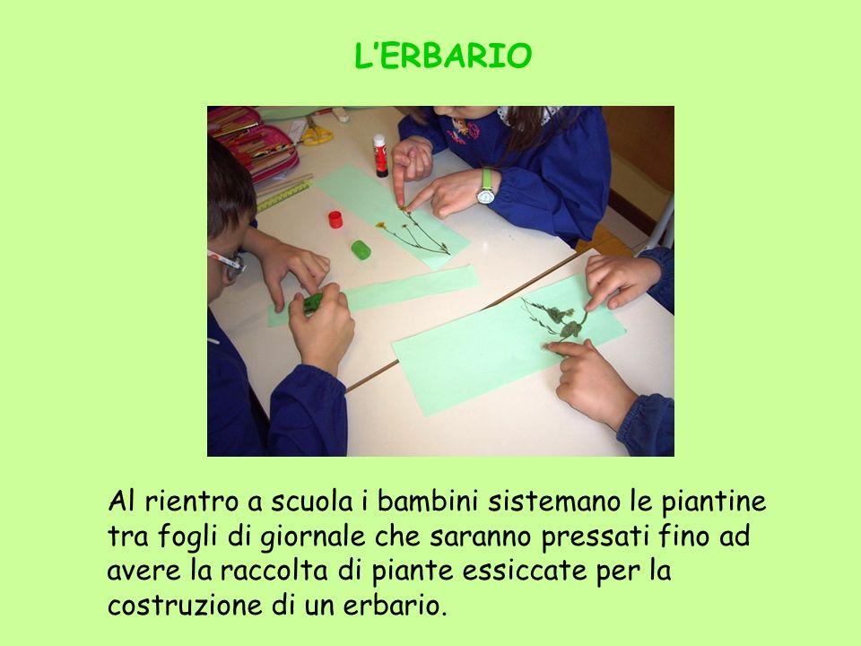 LERBARIO Al rientro a scuola i bambini sistemano le piantine tra fogli di giornale che saranno pressati fino ad avere la raccolta di piante essiccate
