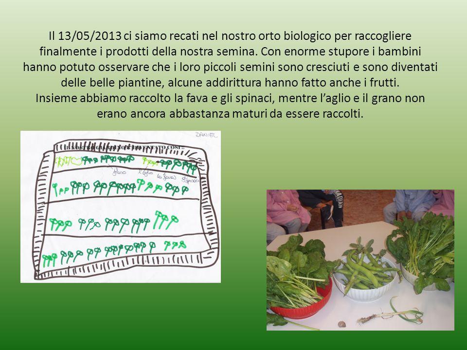 Il 13/05/2013 ci siamo recati nel nostro orto biologico per raccogliere finalmente i prodotti della nostra semina. Con enorme stupore i bambini hanno