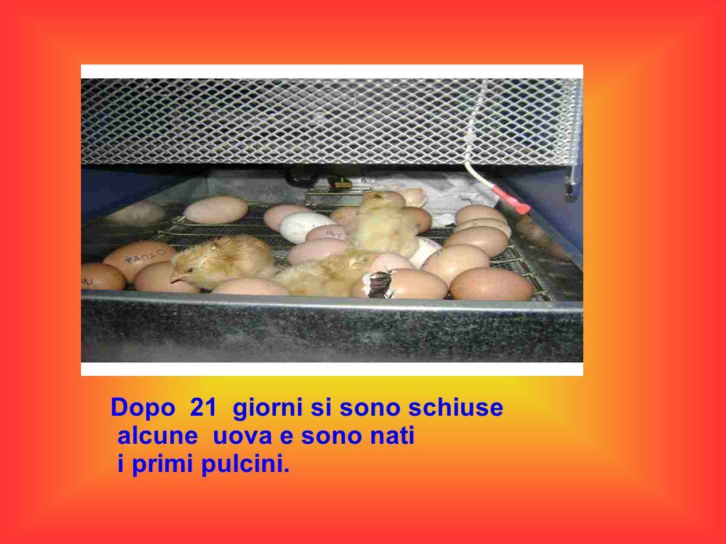 Dopo 21 giorni si sono schiuse alcune uova e sono nati i primi pulcini.
