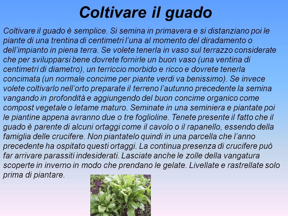 Coltivare il guado Coltivare il guado è semplice. Si semina in primavera e si distanziano poi le piante di una trentina di centimetri luna al momento