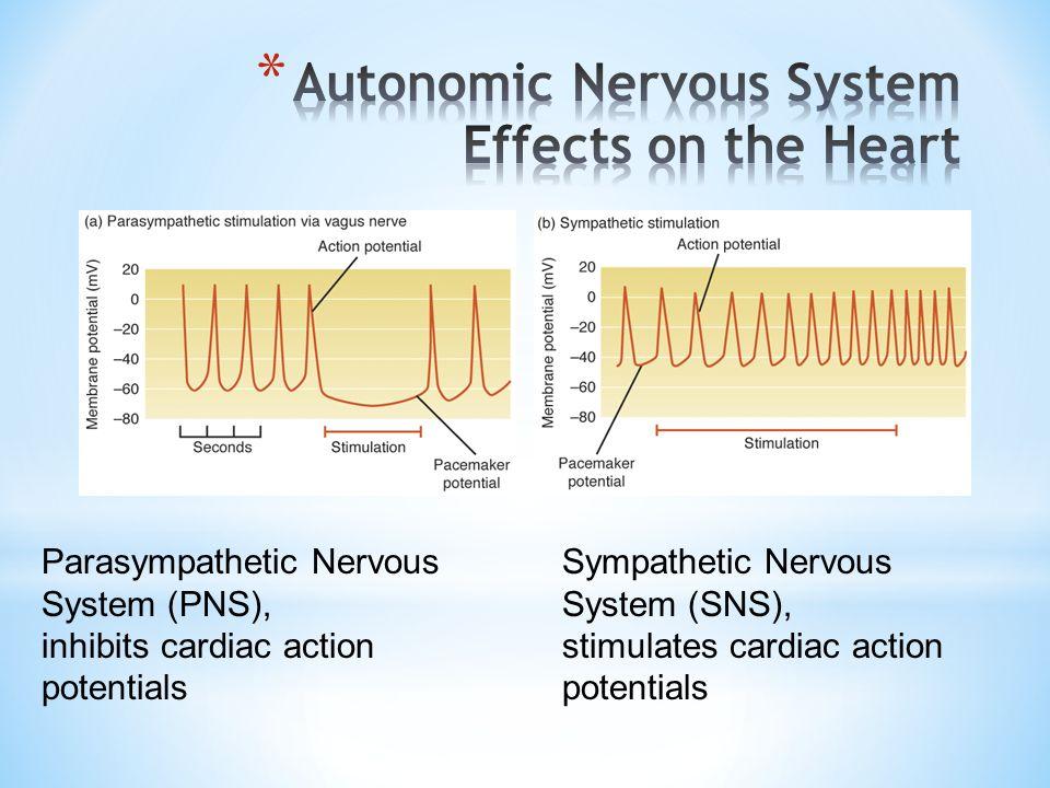 Parasympathetic Nervous System (PNS), inhibits cardiac action potentials Sympathetic Nervous System (SNS), stimulates cardiac action potentials