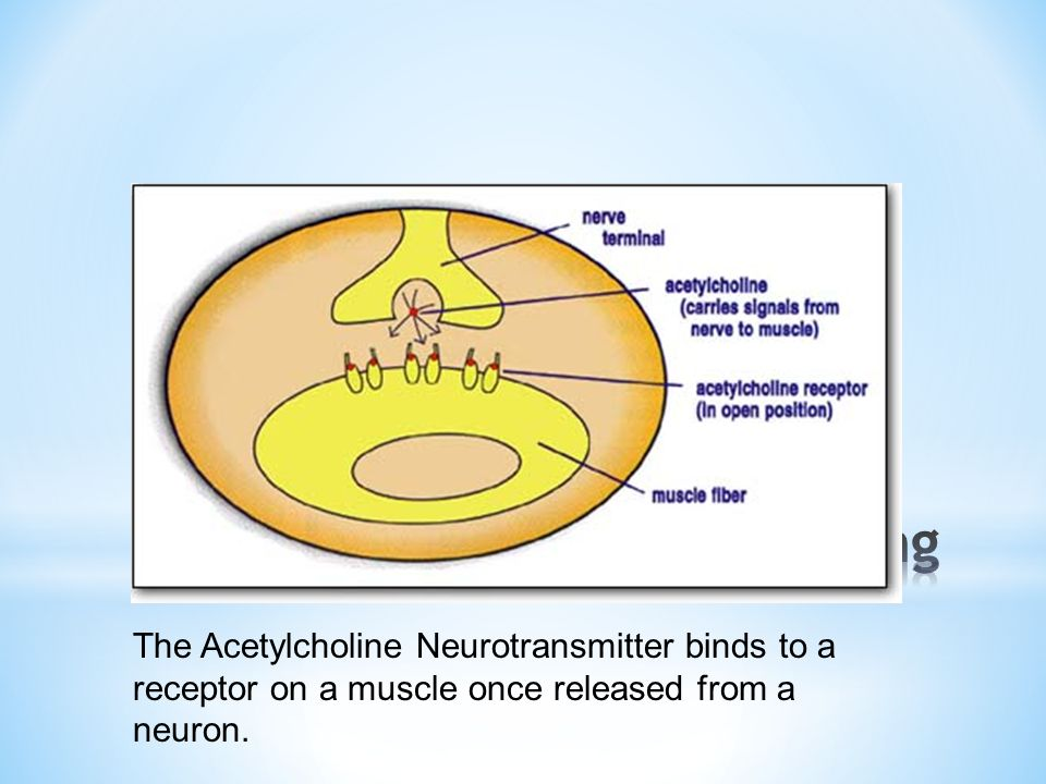 The Acetylcholine Neurotransmitter binds to a receptor on a muscle once released from a neuron.