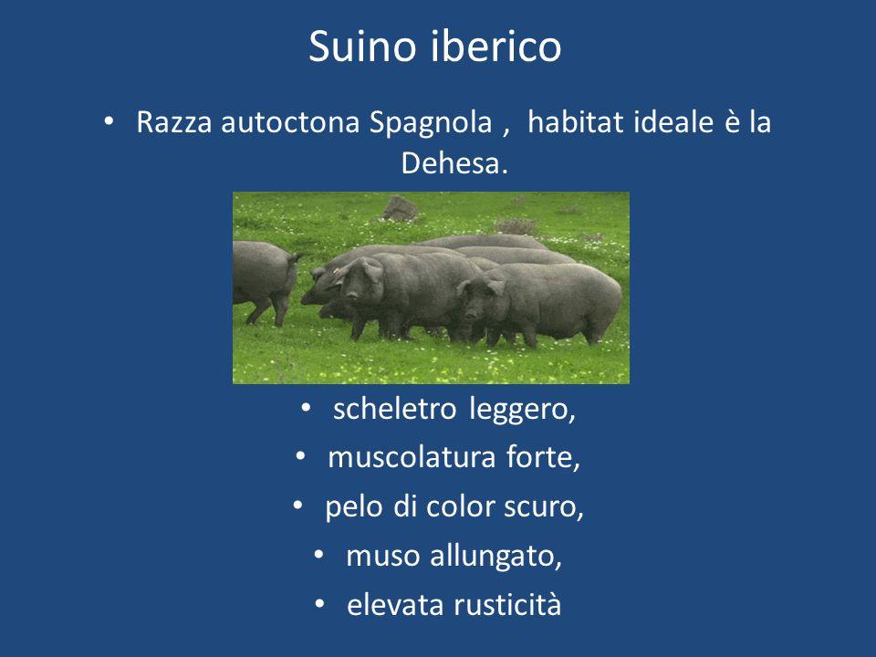 Suino iberico Razza autoctona Spagnola, habitat ideale è la Dehesa. scheletro leggero, muscolatura forte, pelo di color scuro, muso allungato, elevata