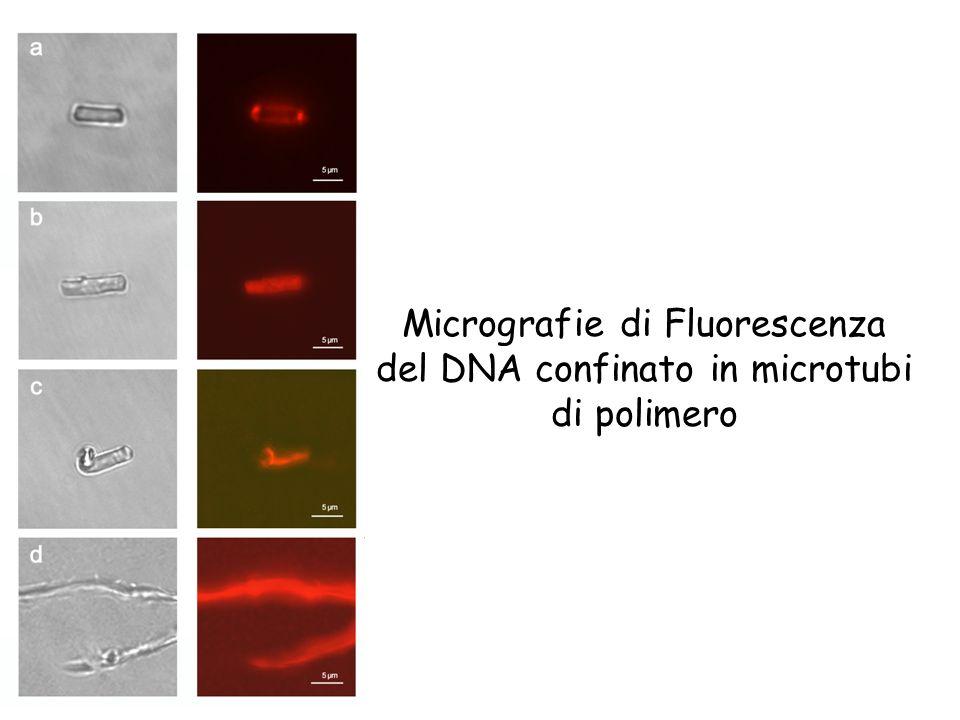 Micrografie di Fluorescenza del DNA confinato in microtubi di polimero