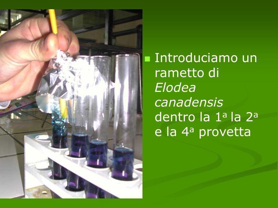 Introduciamo un rametto di Elodea canadensis dentro la 1 a la 2 a e la 4 a provetta