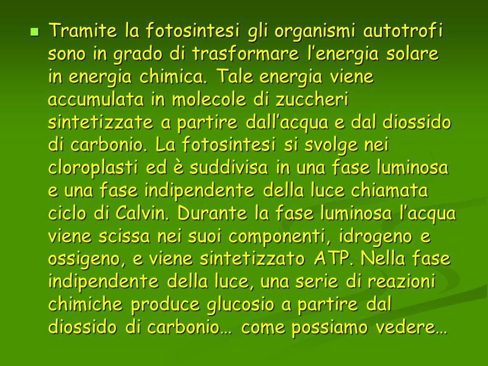 Tramite la fotosintesi gli organismi autotrofi sono in grado di trasformare lenergia solare in energia chimica. Tale energia viene accumulata in molec