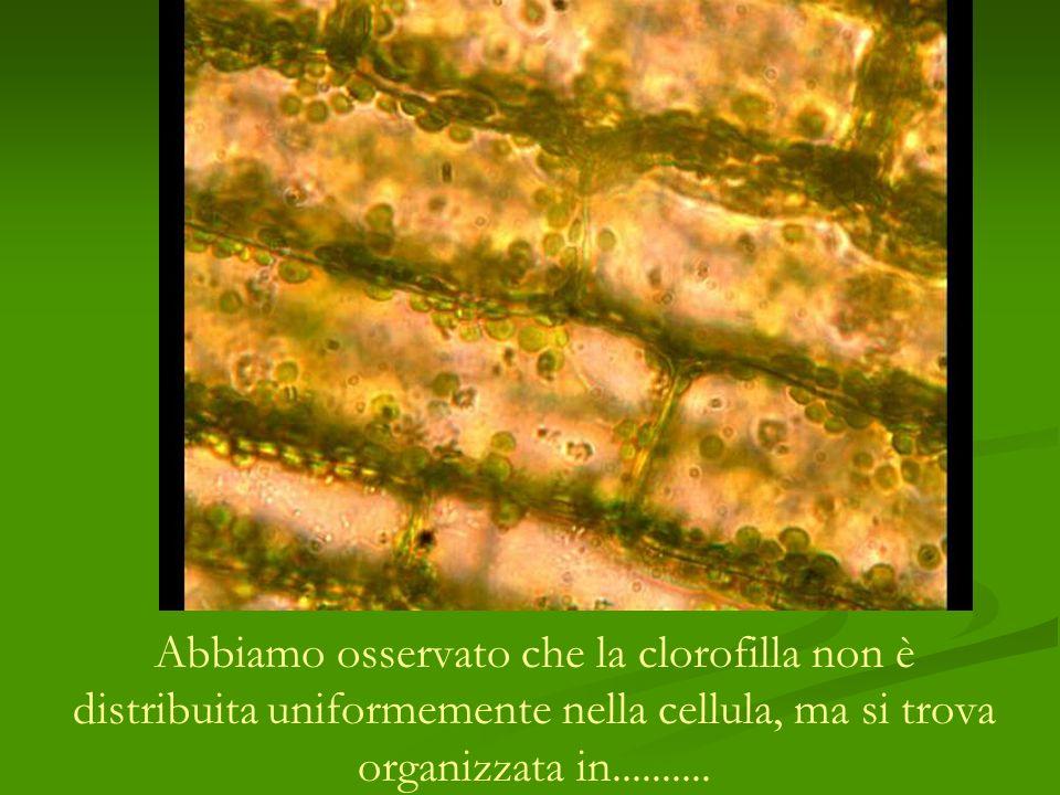Abbiamo osservato che la clorofilla non è distribuita uniformemente nella cellula, ma si trova organizzata in..........