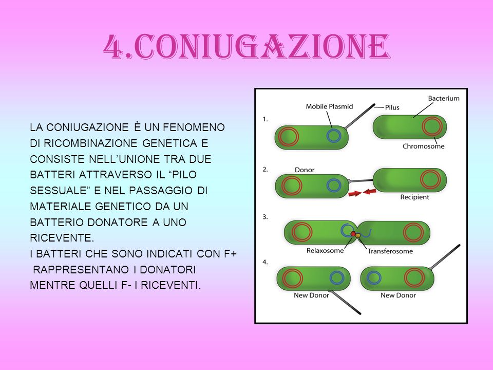 4.CONIUGAZIONE LA CONIUGAZIONE È UN FENOMENO DI RICOMBINAZIONE GENETICA E CONSISTE NELLUNIONE TRA DUE BATTERI ATTRAVERSO IL PILO SESSUALE E NEL PASSAG