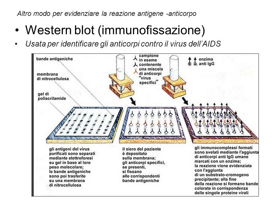 Western blot (immunofissazione) Usata per identificare gli anticorpi contro il virus dellAIDS Altro modo per evidenziare la reazione antigene -anticor