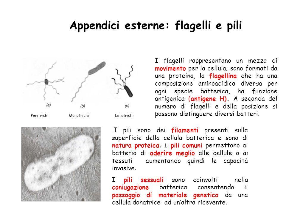 Peritrichi Monotrichi Lofotrichi Appendici esterne: flagelli e pili I flagelli rappresentano un mezzo di movimento per la cellula; sono formati da una